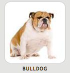 Bulldog image from breedbreakdown