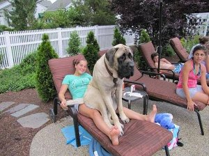 Large dogs on their owners' laps